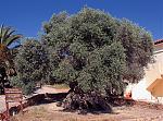Klicke auf die Grafik für eine größere Ansicht  Name:Olivenbaum 1.jpg Hits:196 Größe:397,3 KB ID:49750
