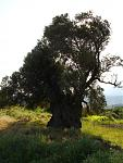 Klicke auf die Grafik für eine größere Ansicht  Name:381 Olivenbaum v. Panasos.jpg Hits:105 Größe:59,8 KB ID:50023