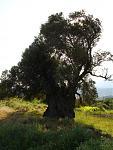 Klicke auf die Grafik für eine größere Ansicht  Name:381 Olivenbaum v. Panasos.jpg Hits:108 Größe:59,8 KB ID:50023